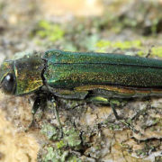 Photo of an Emerald Ash Borer