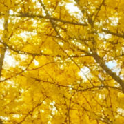 Branches of oak trees covered in vibrant yellow leaves in the Fall