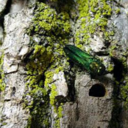 Photo of adult emerald ash borers