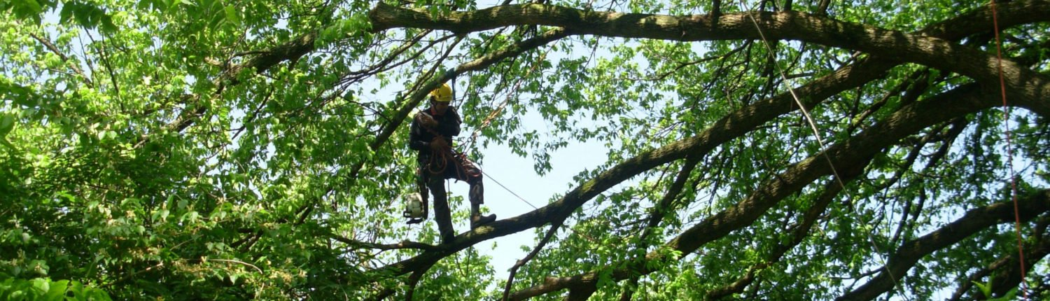 One of our staff standing on the branch of a large tree in the middle of a pruning job