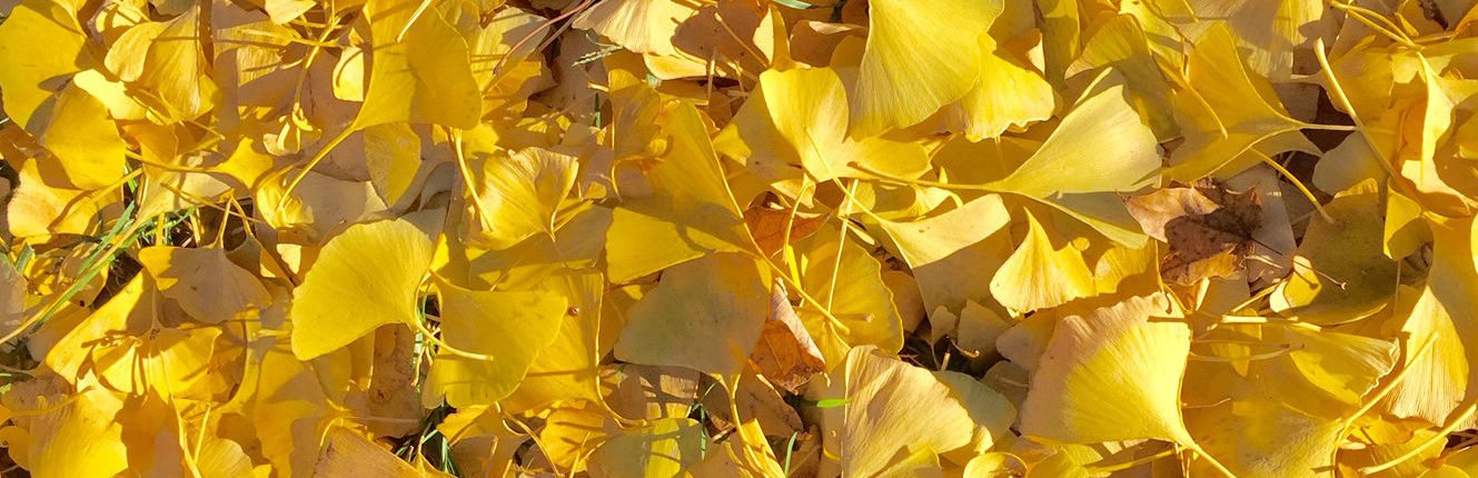 Large pile of vibrant yellow ginkgo leaves