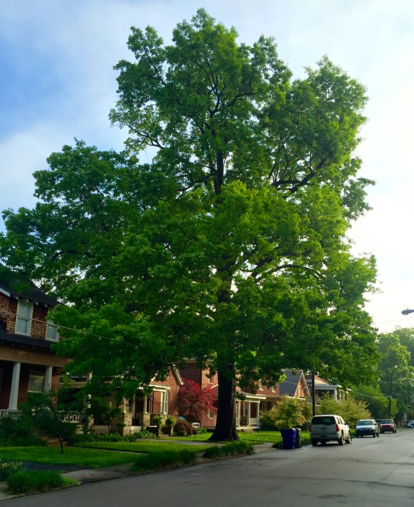 Very large and full Oak tree in a residential neighborhood