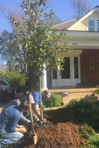 Our expert staff planting a young tree in the front yard of a home