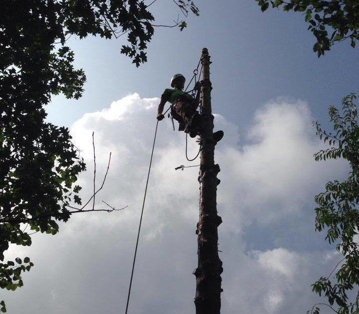 Arborist in the process of tree removal.