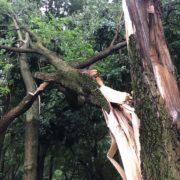 Split tree trunk after a storm
