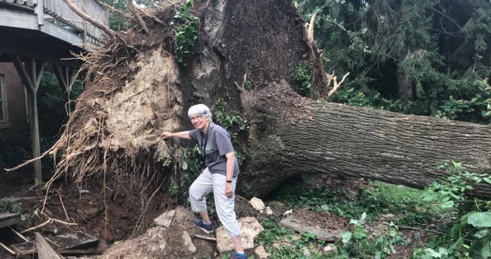 Uprooted 40 year old Tulip Tree