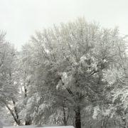 Snowy tree tops in Kentucky